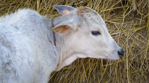 2013-11-09 11.04.23 Bangladesh Calf